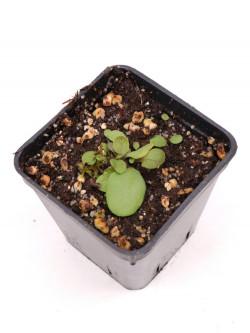 "Utricularia calycifida ""Asenath waite"""
