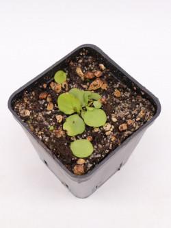 """Utricularia calycifida """"Lavinia Whateley"""""""