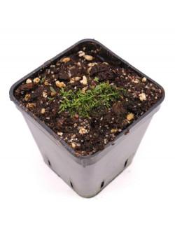 Utricularia reticulata