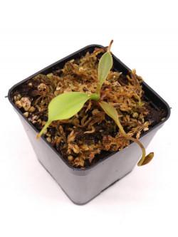 Nepenthes lowii   Trusmadi x Murud