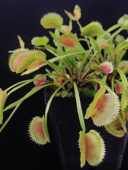 "Dionaea muscipula ""Parise giant"""