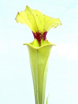 Sarracenia flava var. rugelii   F53 MK