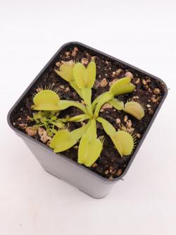 "Dionaea muscipula ""Green & Yellow"""