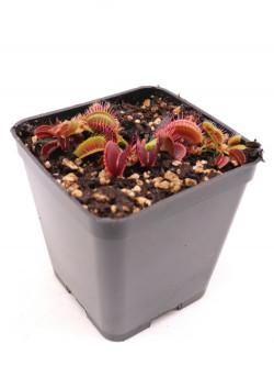 "Dionaea  muscipula ""Dracula x Pro-Giant"""