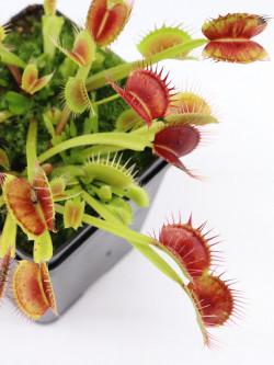 """Dionaea muscipula """"Fuzzy teeth""""  Svarc"""