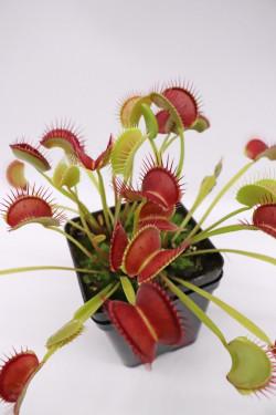 Dionaea muscipula 'Dingley giant'