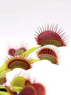 """Dionaea muscipula """"G14"""""""