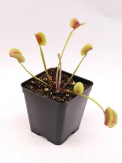 Dionaea muscipula  clone 021 Carnivoria