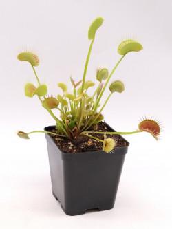 "Dionaea muscipula ""Black beauty"""