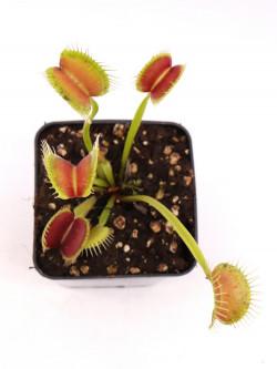 """Dionaea muscipula """"Z11 BCP"""""""