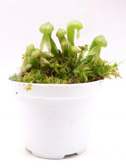 """Darlingtonia californica """"Green form"""""""