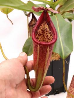 Nepenthes burbidgeae x glandulifera  XL size
