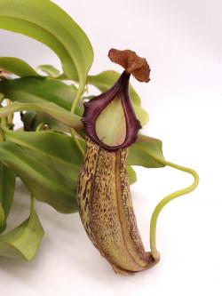 Nepenthes spathulata x spectabilis XL Size