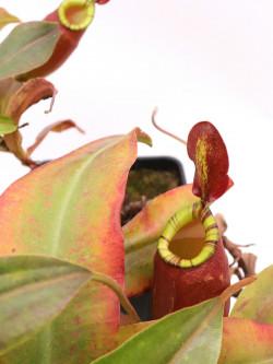 Nepenthes ampullaria x (spectabilis x talangensis)  XL size