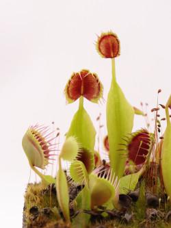 Dionaea muscipula 'Cupped trap'
