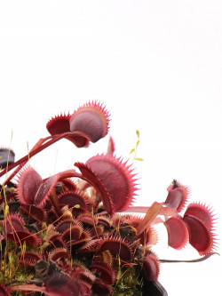"Dionaea muscipula ""Amteborus"""