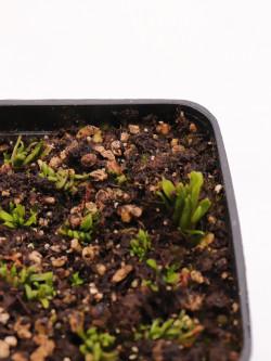"Dionaea muscipula ""BCP Caterpillar"""