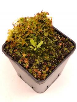 Utricularia jamesoniana , Canon del Diablo, Auyan Tepui