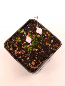 Utricularia pubescent , Serra do caraca