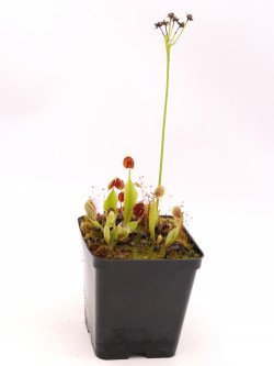 "Dionaea muscipula "" Cupped trap vigorous"""