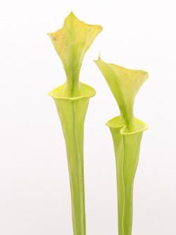 Sarracenia flava var. maxima  F1 MK