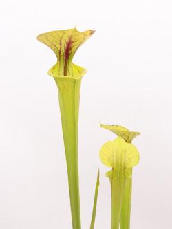 Sarracenia flava var. flava  Dahlia bog ,Virginia  F5 MK