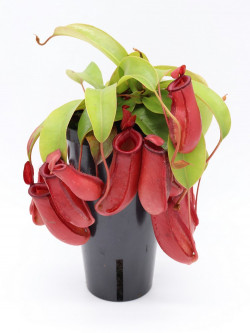 """Nepenthes """" Bloody mary """" XXL Tall black pot"""