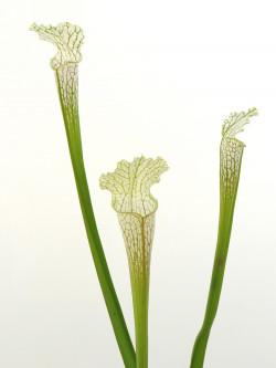 Sarracenia leucophylla L14 PW x L04 MK