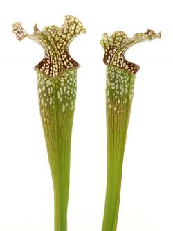 Sarracenia leucophylla x rubra subsp. gulfensis f.luteoviridis