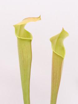 Sarracenia rubra susbp. alabamensis , pubescent form