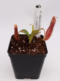 Nepenthes spathulata x vogelii