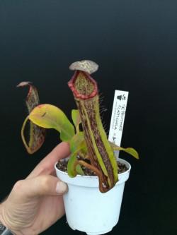 Nepenthes platychila x...