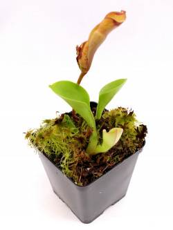Heliamphora nutans , Kukenan Tepui