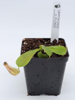 Nepenthes spathulata x fusca