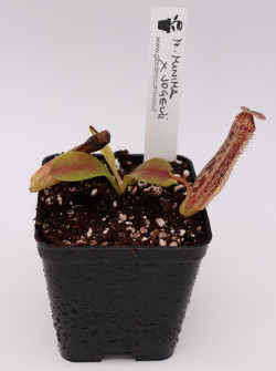 Nepenthes minima x vogelii
