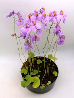 """Utricularia reniformis """"Flowering clone"""""""