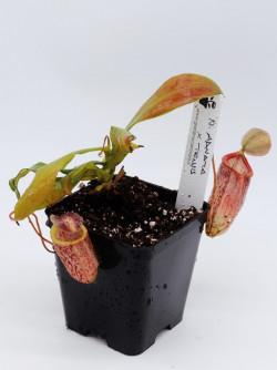 Nepenthes adnata x tenuis