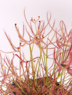FRESH SEEDS OF Drosera binata mix of form