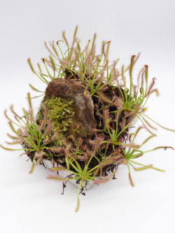 """FRESH SEEDS of DROSERA CAPENSIS """"BROAD LEAVES"""""""