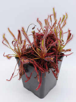 """FRESH SEEDS of DROSERA CAPENSIS """"ALL RED"""""""