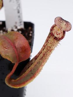 Nepenthes chaniana x (chaniana x veitchii) x vogelii