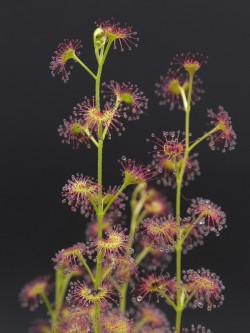 Drosera stolonifera mattner x stolonifera dark green form