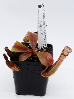 Nepenthes chaniana x...
