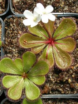 Drosera macrophylla ssp.monantha