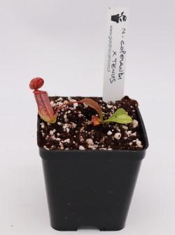 Nepenthes copelandi x tenuis