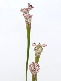 Sarracenia leucophylla , Mobile Co.