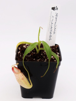 Nepenthes spathulata x talangensis