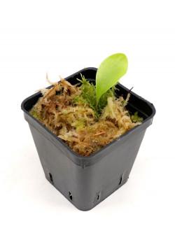 Utricularia quelchii
