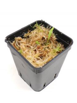 Utricularia cv. Jitka      (U.quelchii x U.praetermissa)