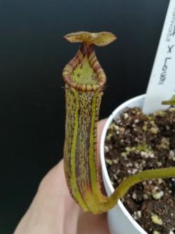 Nepenthes platychila x lowii